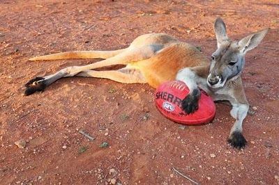 Домашний кенгуру 13