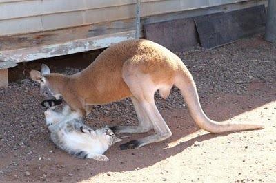 Домашний кенгуру 15