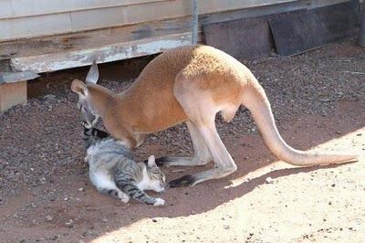 Домашний кенгуру 19