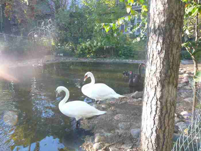 А белые лебеди все равно милей