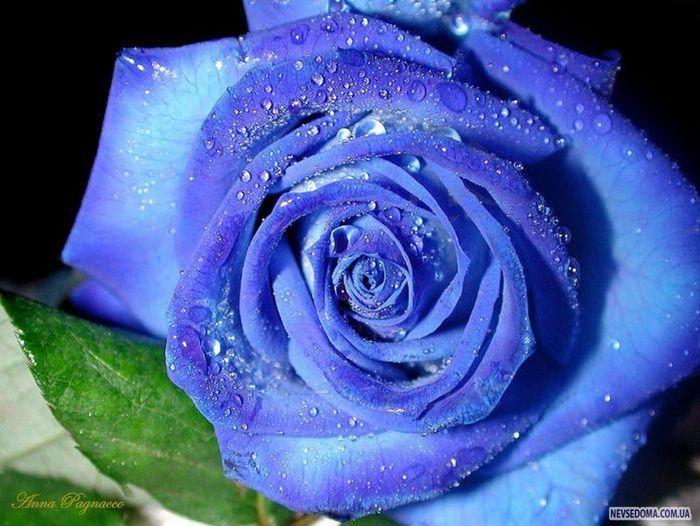 на небе искала не розу -...