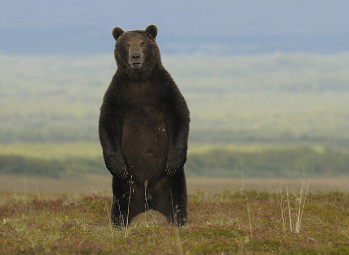 медведь вышел пописать уникальное фото