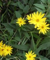 (191x232, 115Kb)Топинамбур человеку выше пояса, цветет как подсолнух, да и вообще они с подсолнухом родственники