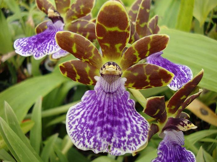 Орхидеи. Виды и сорта. (700x525, 113Kb)