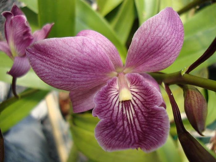 Орхидеи. Виды и сорта. (700x525, 103Kb)