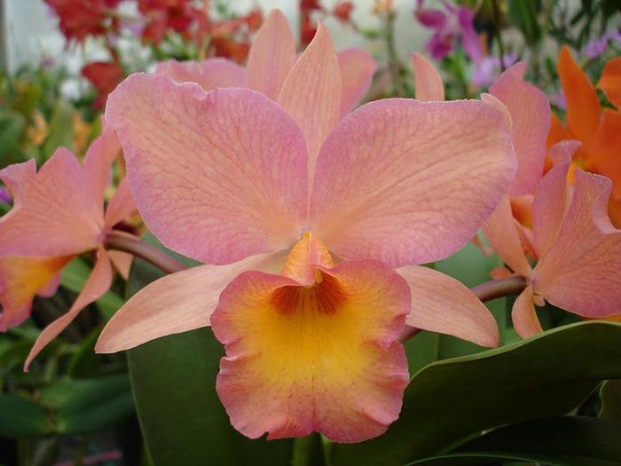 Орхидеи. Виды и сорта. (700x525, 81Kb)