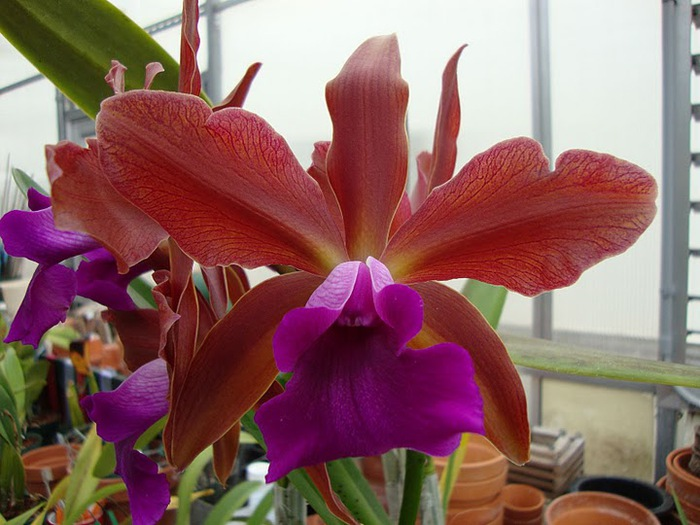 Орхидеи. Виды и сорта. (700x525, 106Kb)