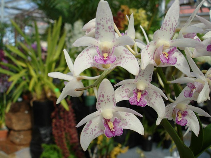 Орхидеи. Виды и сорта. (700x525, 108Kb)