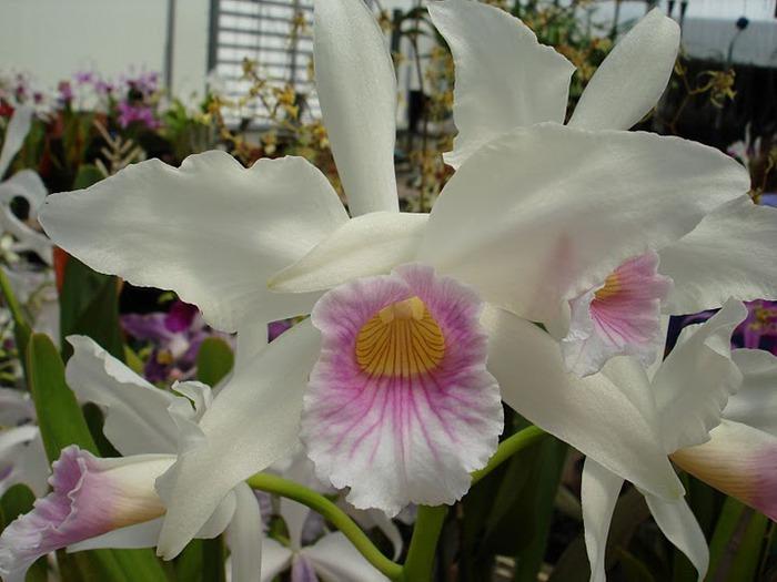 Орхидеи. Виды и сорта. (700x525, 84Kb)