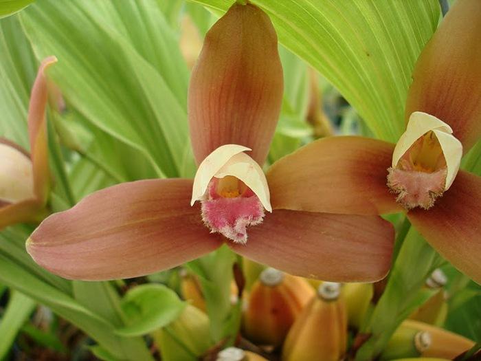 Орхидеи. Виды и сорта. (700x525, 83Kb)