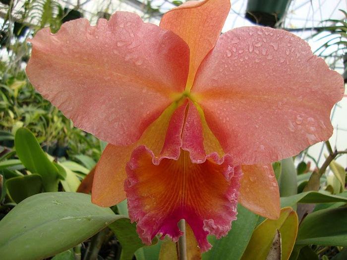 Орхидеи. Виды и сорта. (700x525, 119Kb)