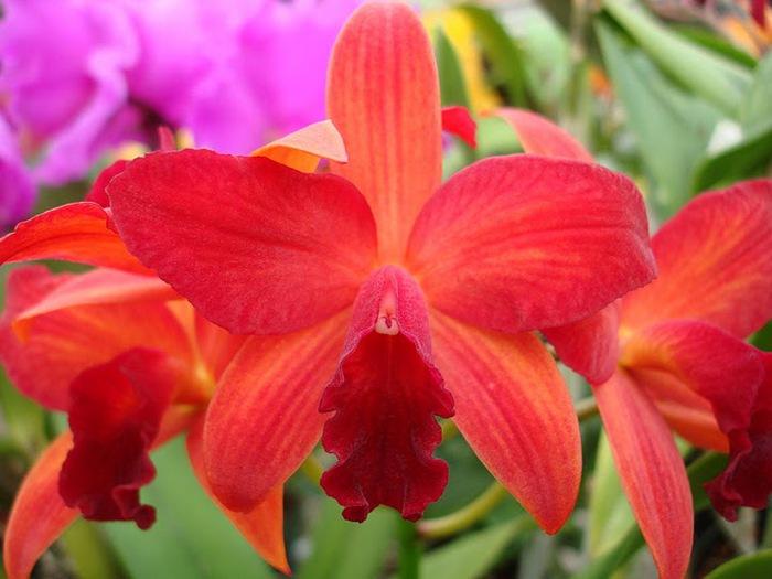 Орхидеи. Виды и сорта. (700x525, 89Kb)