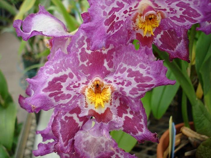 Орхидеи. Виды и сорта. (700x525, 126Kb)