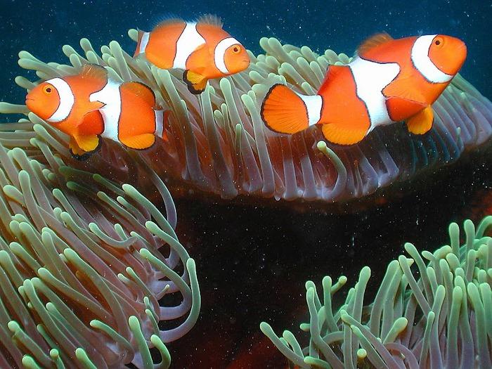 Восьмое чудо света - Большой Барьерный риф Австралии-Great Barrier Reef 98208