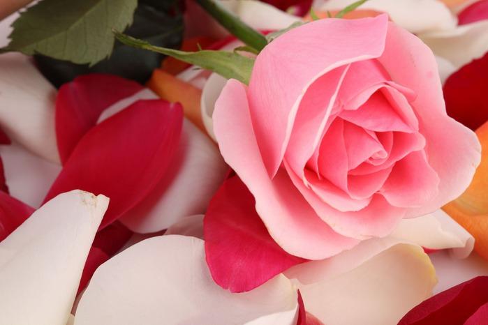 65819128_4_flowers_rose_016 (699x466, 60 Kb)