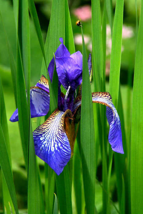 цветок ирис (466x699, 44 Kb)
