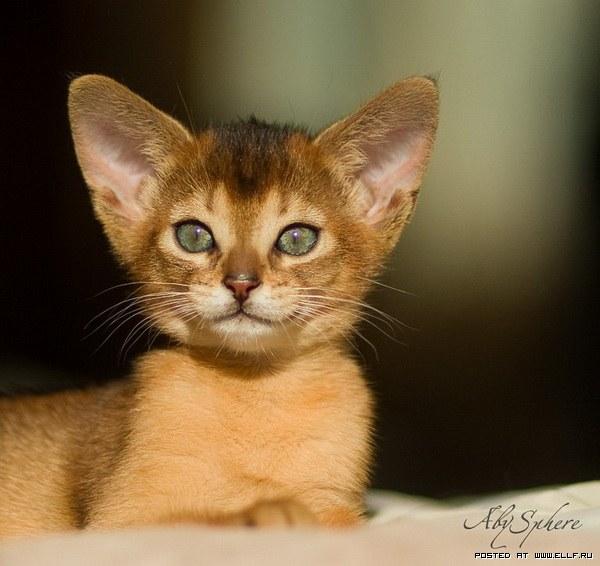 Абиссинские кошки - это