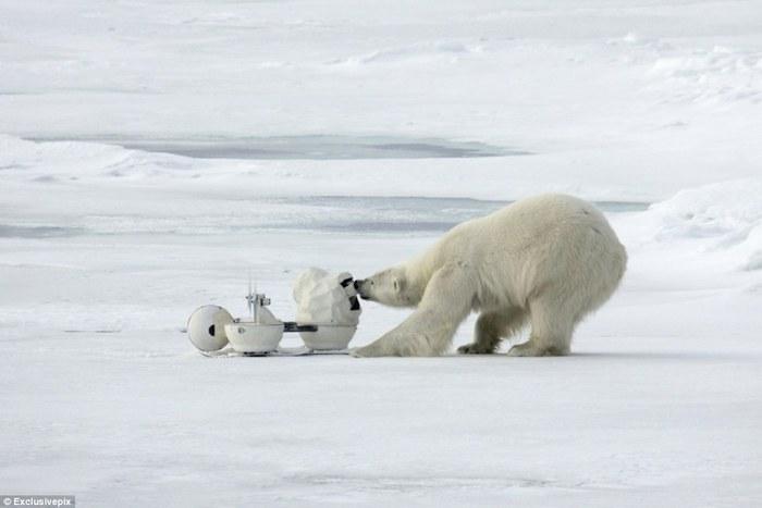 полярный медведь пробует на зуб оборудование стоимостью в четверть миллиона долларов