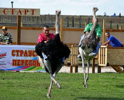 В Украине прошли гонки на страусах 64451