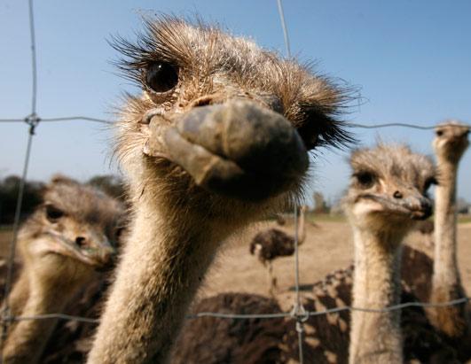 В Украине прошли гонки на страусах 14078