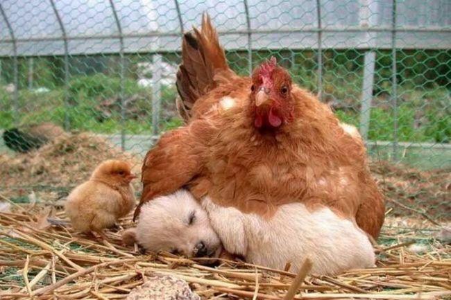 курица сидит на щенке