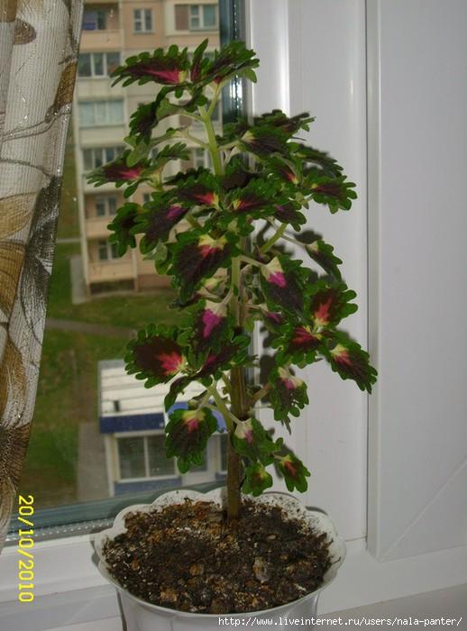 комнатный цветок колеус