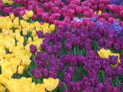 тюльпан (420x315, 184 Kb)