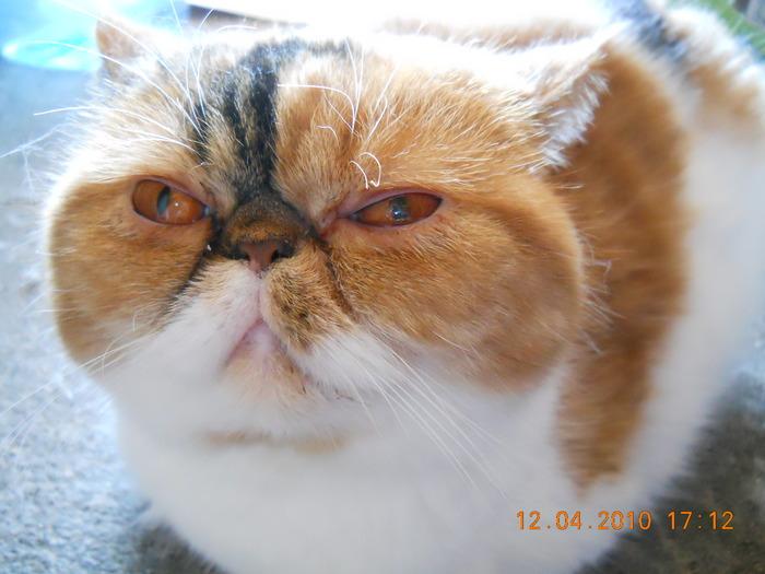 экзот фото кошки