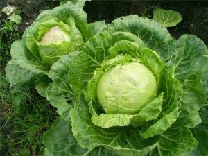 Целебные свойства капусты