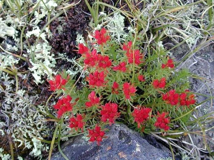 красная щётка растение фото