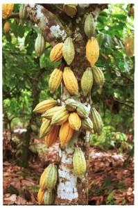 cacao-tree1 (199x299, 26 Kb)