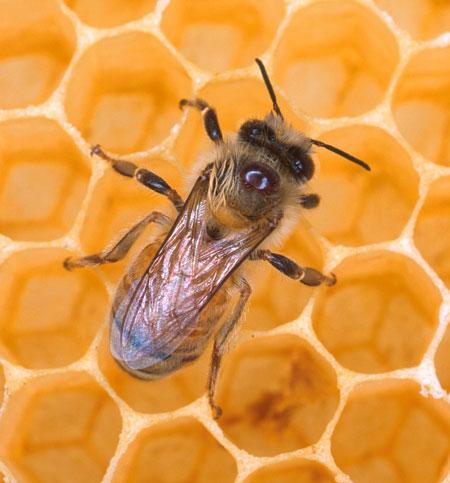 мед (450x483, 46 Kb)