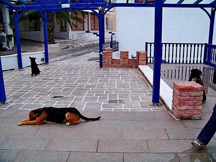 домашниe животные на острове Санторин 38865