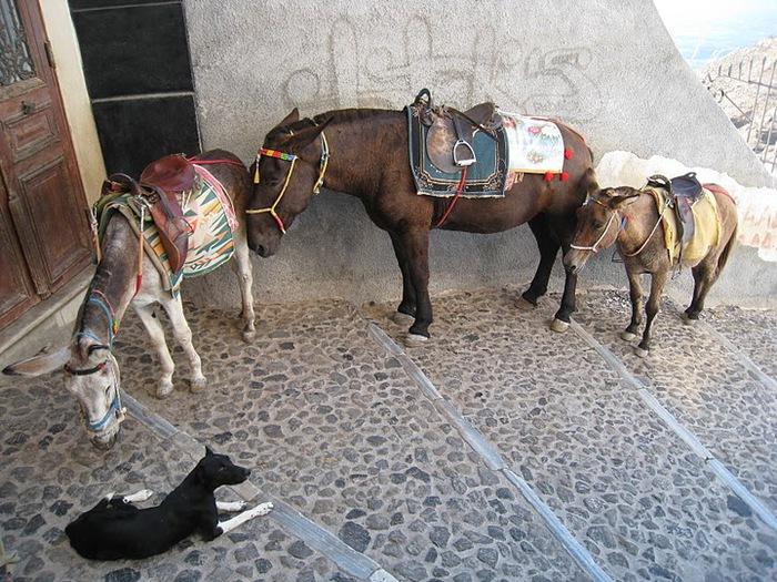 домашниe животные на острове Санторин 58353