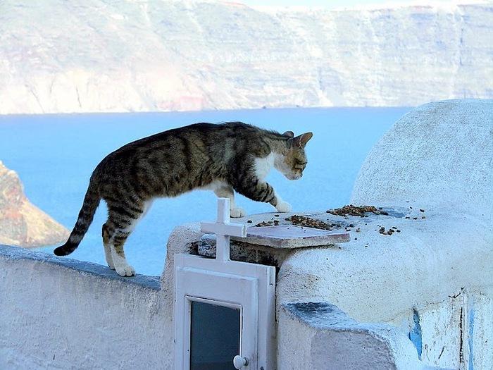 домашниe животные на острове Санторин 16960