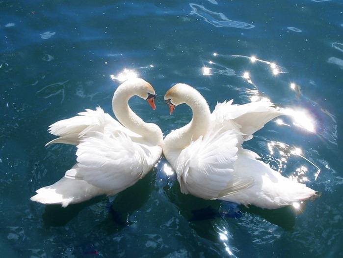 фото, лебеди, красота, природа