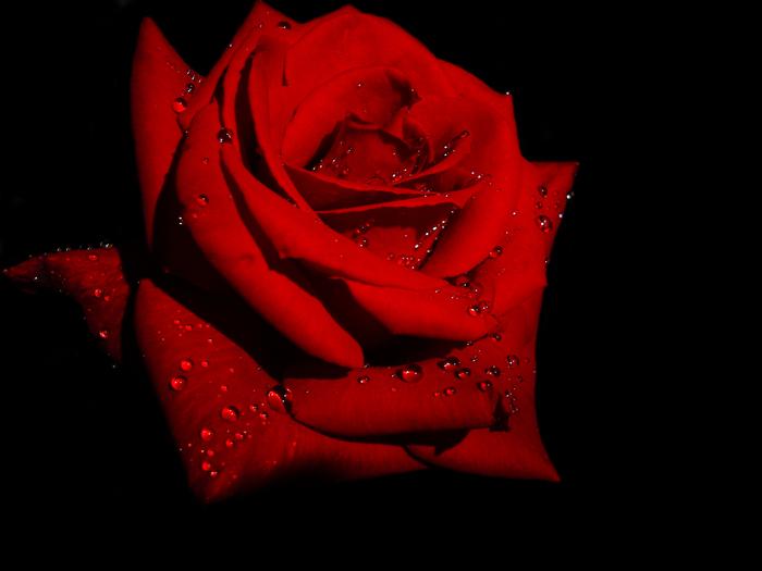 роза на черном фоне картинки