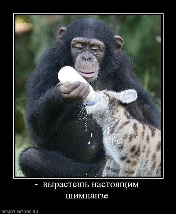 Демотиватор: вырастешь настоящим шимпанзе