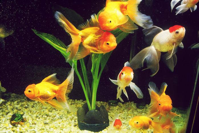 Золотые рыбки Shaggy и Dafne (получившие свои имена, очевидно, уже после их чудесного