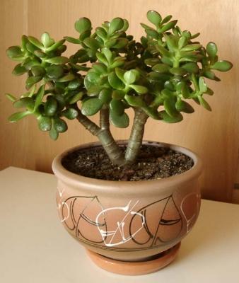 """Второе растение - толстянка, она же  """"денежное дерево """" или крассула.  На толстом стволе красуются мясистые..."""
