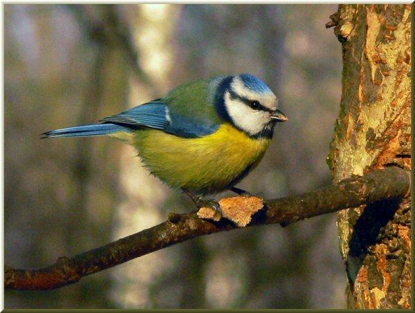 Синица лазоревка Parus caeruleus с