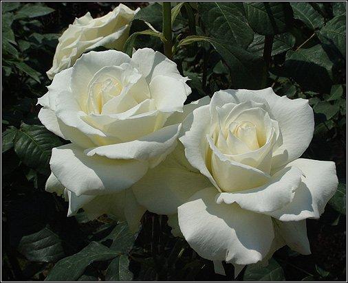 """Предпросмотр - Схема вышивки  """"Белые розы """" - Схемы автора  """"podruzka1950 """" - Вышивка крестом."""