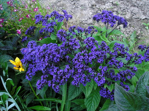 Синие садовые многолетние цветы