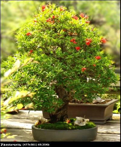 Pomegranate (Plant: punica granatum) - 7 seeds.