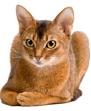 Предком абиссинских кошек считается дикая африканская кошка, обитавшая...