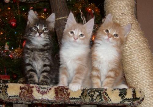 Кошки породы мейн кун фото и видео.