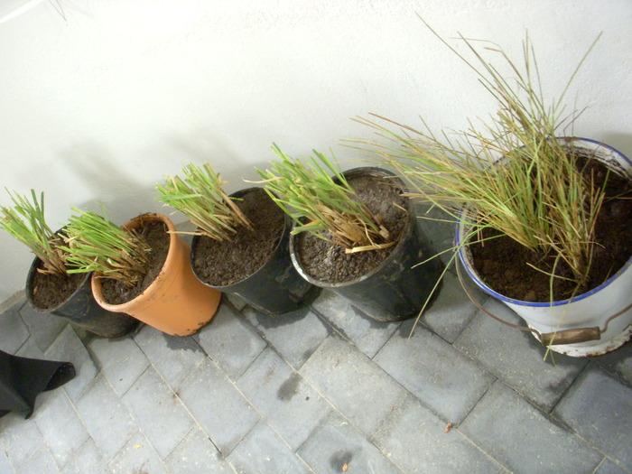 Пампасная трава рассада 81