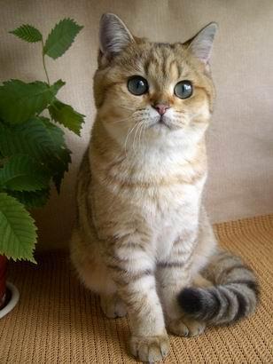 Британская Короткошерстная кошка фото.