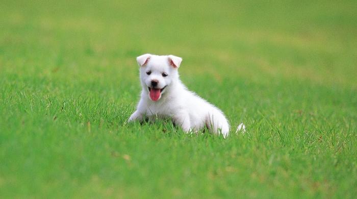фото белых щенков пекинеса