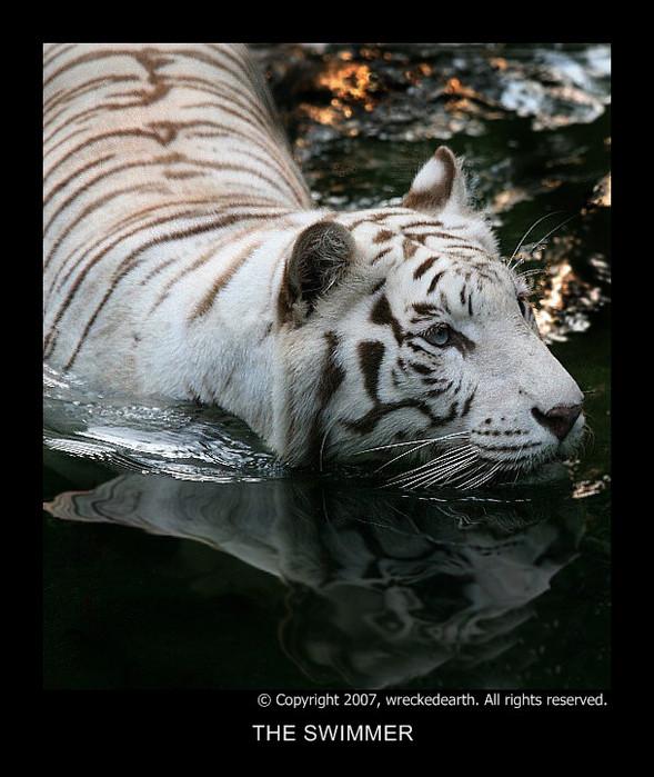 Белый тигр - разновидность Индийского (Бенгальского) тигра.  Своим белым окрасом эти красавцы обязаны недостатку в...